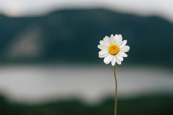 ความหมายดอกเดซี่