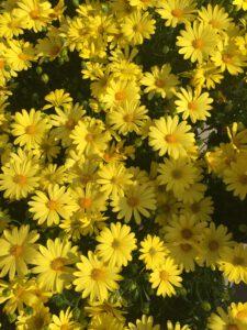 ดอกเดซี่สีเหลือง