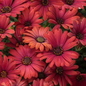 ดอกเดซี่สีแดง