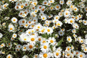 ดอกเดซี่สีขาว